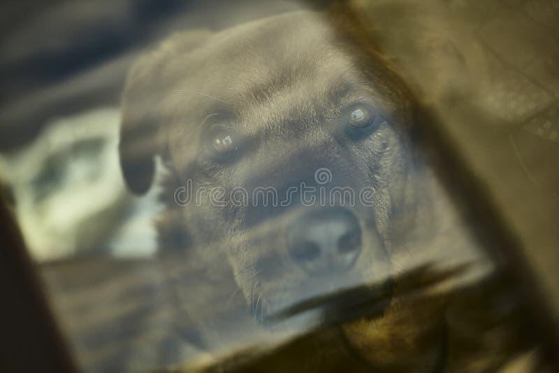 Chiuda su di bello ritratto marrone del cane dietro una lastra di vetro immagini stock