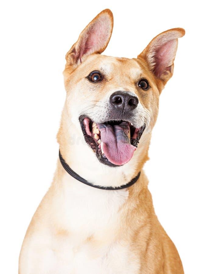 Chiuda su di bianco e di Tan Large Mixed Breed Dog fotografia stock libera da diritti