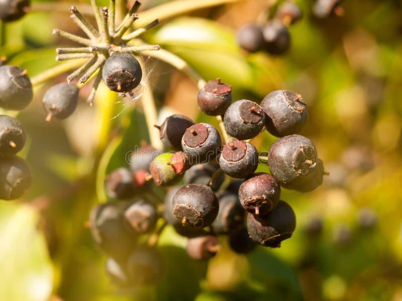 Chiuda su di blu scuro molte bacche sull'arbusto in autunno - il Hedera h immagine stock