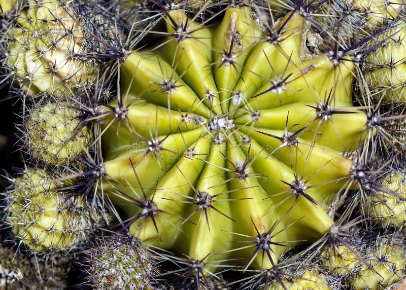 Chiuda su di cactus a forma di globo immagini stock libere da diritti