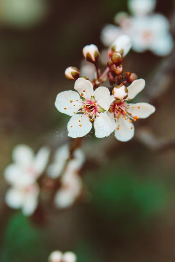 Chiuda su di Cherry Blossoms adorabile fotografie stock libere da diritti