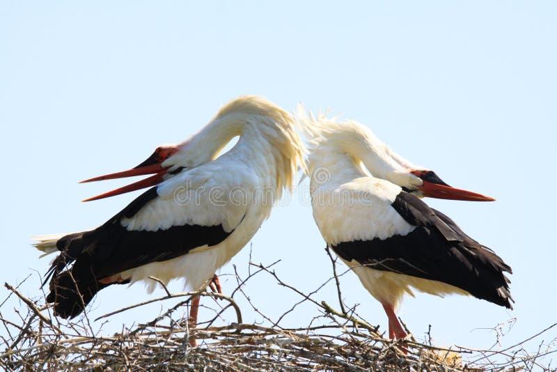 Chiuda su di Ciconia di Ciconia di due cicogne bianche in un nido su un albero contro cielo blu immagine stock