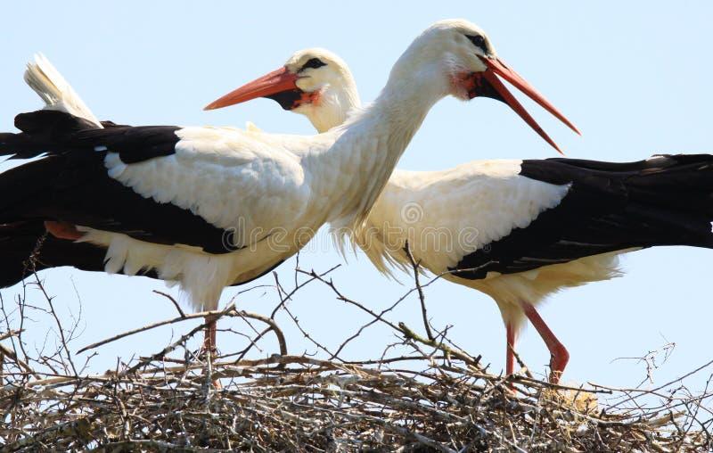 Chiuda su di due cicogne in un nido su un albero con i colli attraversati che guardano nelle direzioni differenti immagini stock libere da diritti
