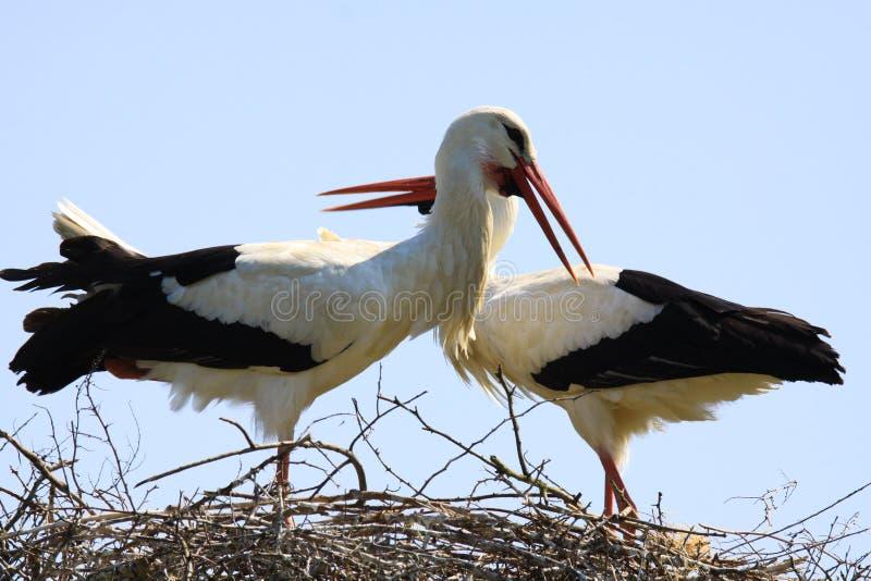Chiuda su di due cicogne in un nido su un albero con i colli attraversati fotografia stock libera da diritti