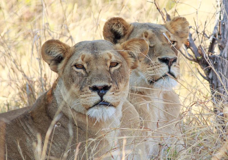 Chiuda su di due leonesse che riposano nell'erba gialla asciutta - una sta guardando direttamente nella macchina fotografica immagine stock libera da diritti