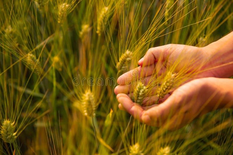 Chiuda su di due mani che tengono le punte dorate del grano sul campo immagini stock libere da diritti