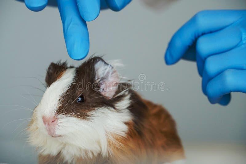 Chiuda su di giovane cavia sulla tavola dell'esame alla clinica veterinaria fotografie stock