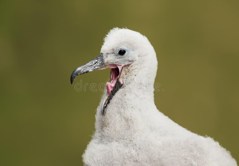 Chiuda su di giovane pulcino dell'albatro chiamata Nero-browed fotografie stock