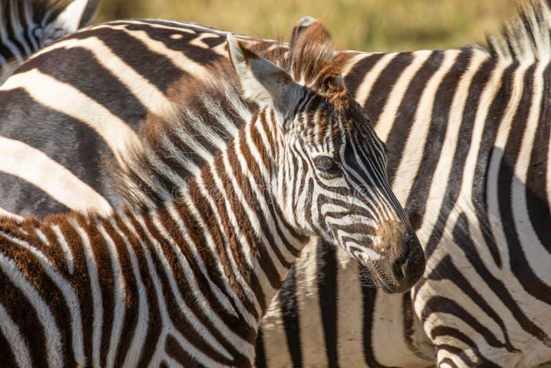 Chiuda su di gran lunga il ritratto di giovane zebra comune, quagga di equus, con la madre nel fondo immagine stock