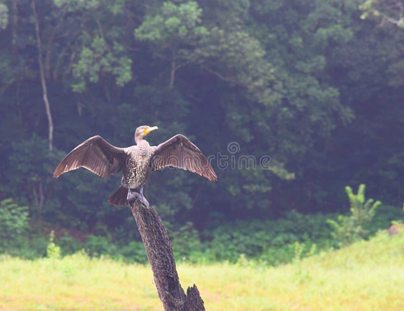 Chiuda su di grande Cormorant - Phalacrocorax Carbone - con le ali spante che si siedono sul legno nel parco nazionale di Periyar fotografia stock libera da diritti