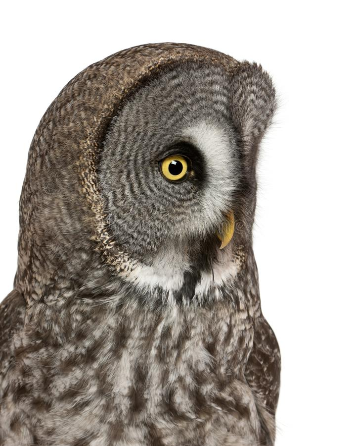 Chiuda su di grande Grey Owl o gufo della Lapponia, il nebulosa dello strige, un gufo molto grande immagini stock