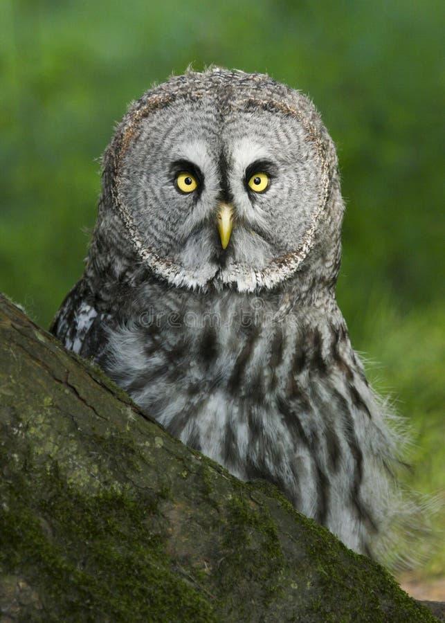 Chiuda su di grande Grey Owl, strige che il nebulosa si è appollaiato fotografie stock