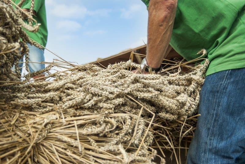 Chiuda su di grano falciato dato dalle persone alla trebbiatura in una trebbiatrice storica fotografia stock