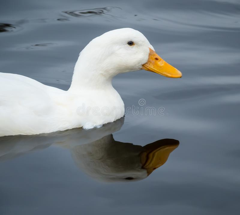 Chiuda su di nuoto dell'anatra di Pekin nello stagno con la riflessione immagine stock libera da diritti