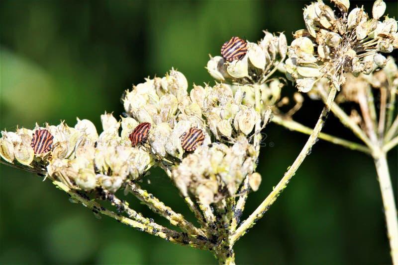 Chiuda su di rosso isolato e lo schermo a strisce nero del menestrello ostacola il lineatum di Graphosoma su un fiore bianco sbia fotografia stock libera da diritti