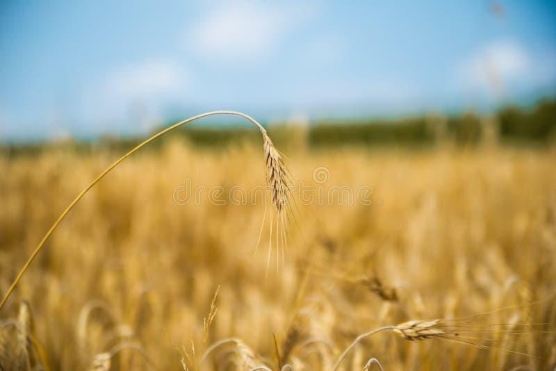 Chiuda su di singolo orecchio del grano con il forte fondo del bokeh, cielo blu fotografia stock libera da diritti