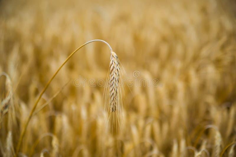 Chiuda su di singolo orecchio dorato del grano nel giacimento di grano Foto orizzontale Priorit? bassa della raccolta immagine stock libera da diritti
