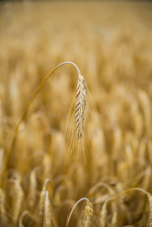 Chiuda su di singolo orecchio dorato del grano nel giacimento di grano Foto verticale fotografie stock libere da diritti