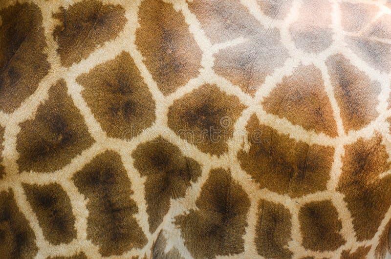 Chiuda su di struttura reale della pelle della giraffa della fauna selvatica animale fotografia stock libera da diritti