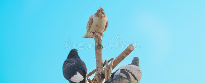 Chiuda su di tre piccioni che si siedono sui pezzi di legno fotografia stock