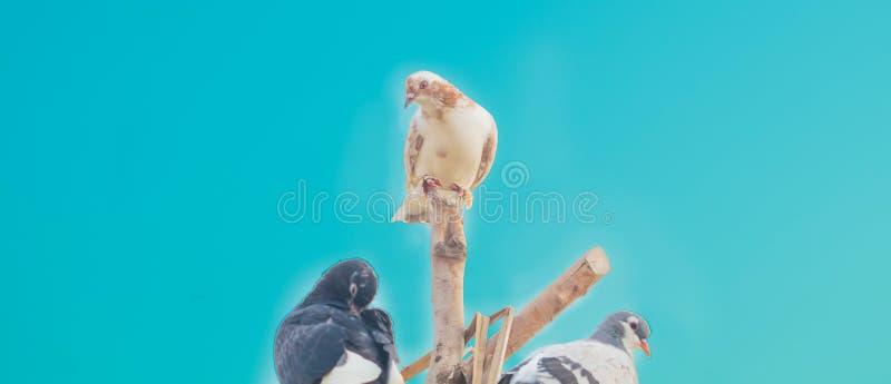 Chiuda su di tre piccioni che si siedono sui pezzi di legno immagini stock libere da diritti
