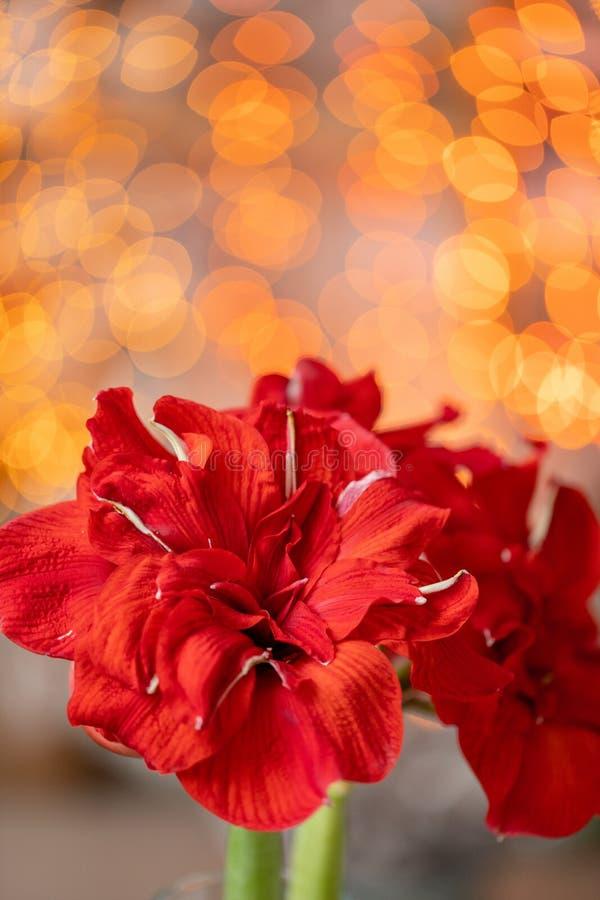 Chiuda su di un amarillide rosso Fiori di Amarilis in vaso di vetro Bokeh della ghirlanda su fondo Carta da parati verticale immagine stock