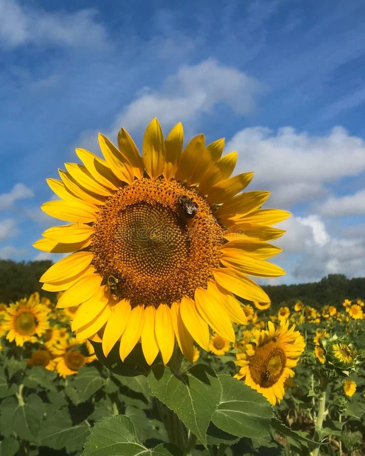 Chiuda su di un'ape su un girasole in un giacimento del girasole di estate fotografia stock libera da diritti