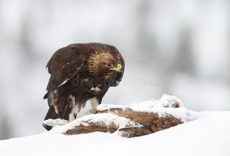 Chiuda su di un'aquila reale nella neve di caduta fotografie stock