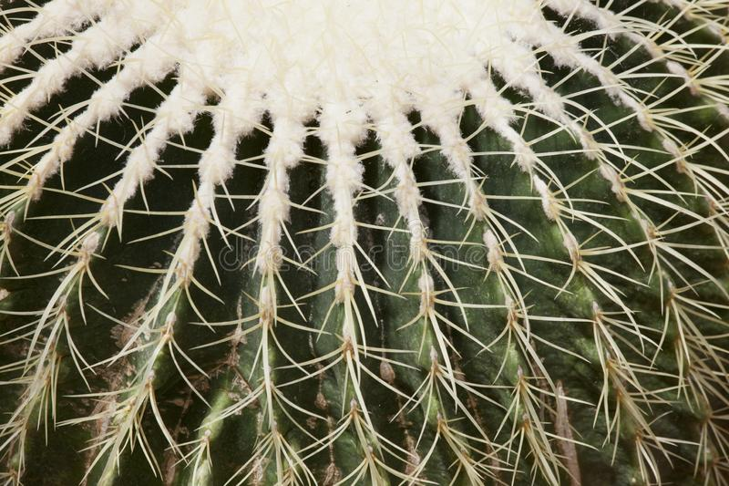 Chiuda su di un cactus di barilotto fotografia stock libera da diritti