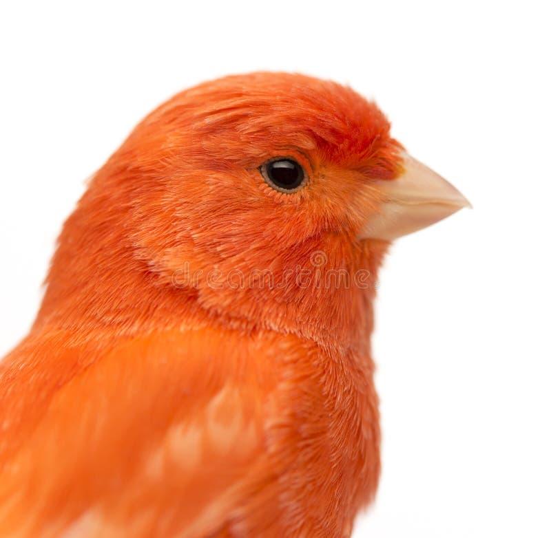 Chiuda su di un canarino rosso, il Serinus canaria immagini stock libere da diritti