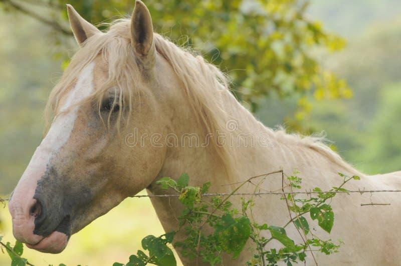 Chiuda su di un cavallo del palomino fotografie stock libere da diritti