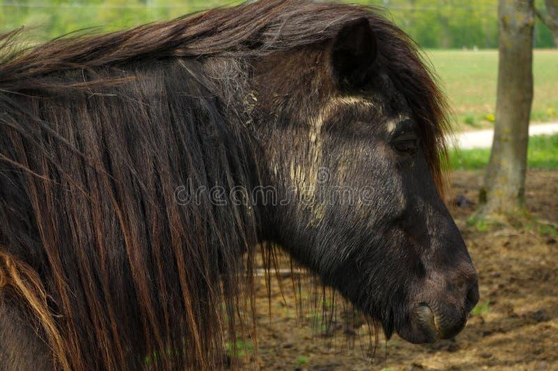 Chiuda su di un cavallo dell'Islanda di marrone scuro che sta sul pascolo fra gli alberi fotografie stock libere da diritti