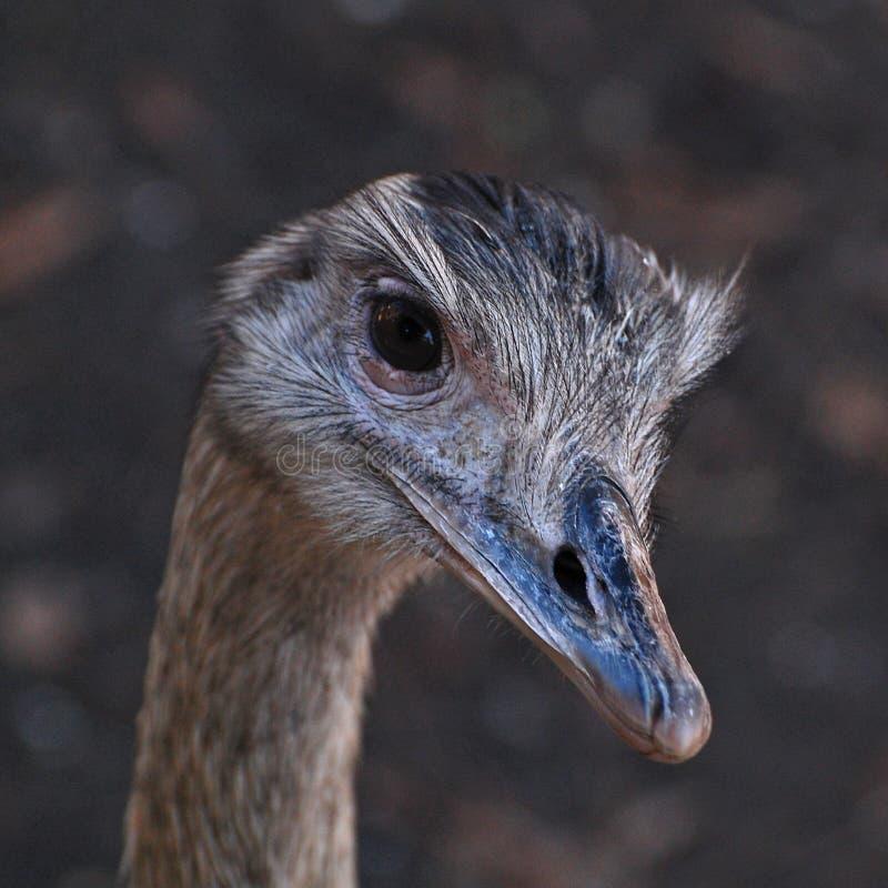 Chiuda in su di un Emu immagini stock