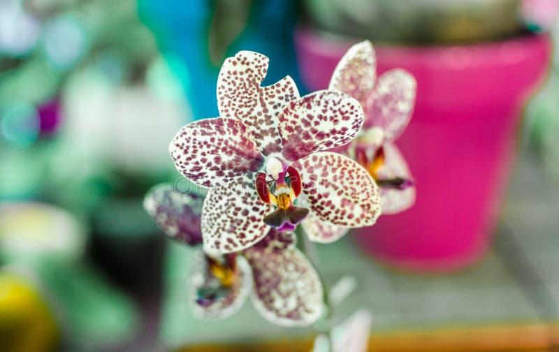 Chiuda su di un fiore macchiato porpora dell'orchidea fotografie stock