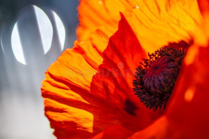 Chiuda su di un fiore rosso vivo rosso gigante del papavero del velluto immagine stock libera da diritti