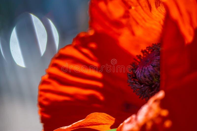 Chiuda su di un fiore rosso vivo rosso gigante del papavero del velluto fotografia stock libera da diritti
