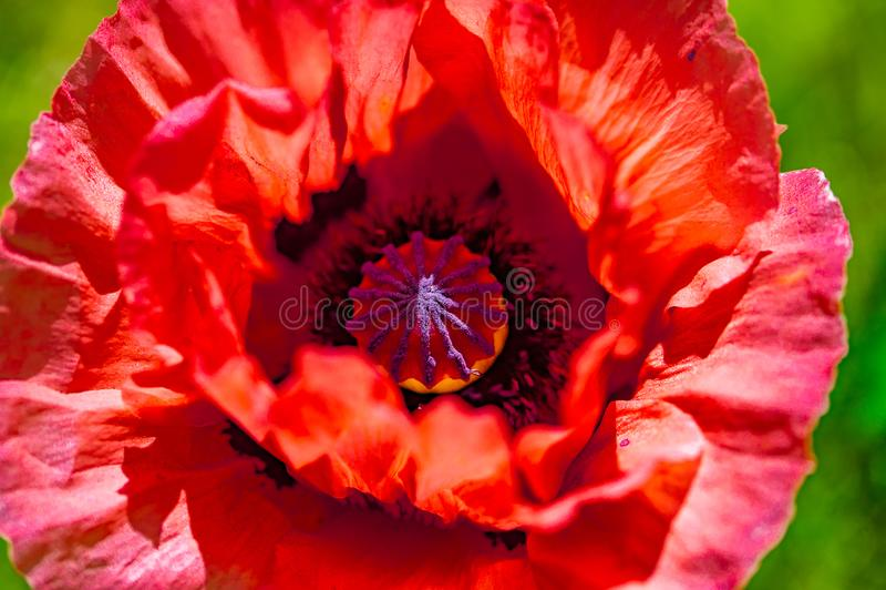 Chiuda su di un fiore rosso vivo rosso gigante del papavero del velluto fotografia stock