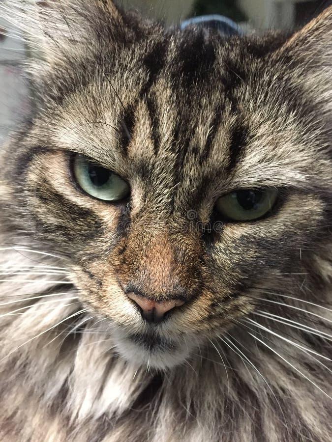 Chiuda su di un gatto di Maine Coon della parte immagine stock libera da diritti