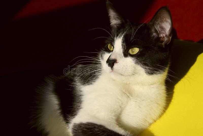 Chiuda in su di un gatto Ritratto degli animali immagine stock libera da diritti