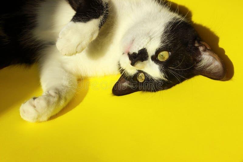 Chiuda in su di un gatto Ritratto degli animali fotografie stock