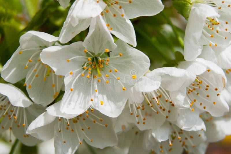 Chiuda su di un gruppo di fiori aperti della ciliegia immagine stock libera da diritti