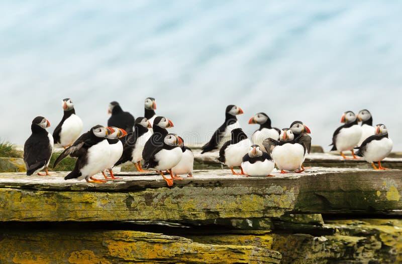 Chiuda su di un gruppo di pulcinella di mare su una roccia fotografia stock libera da diritti