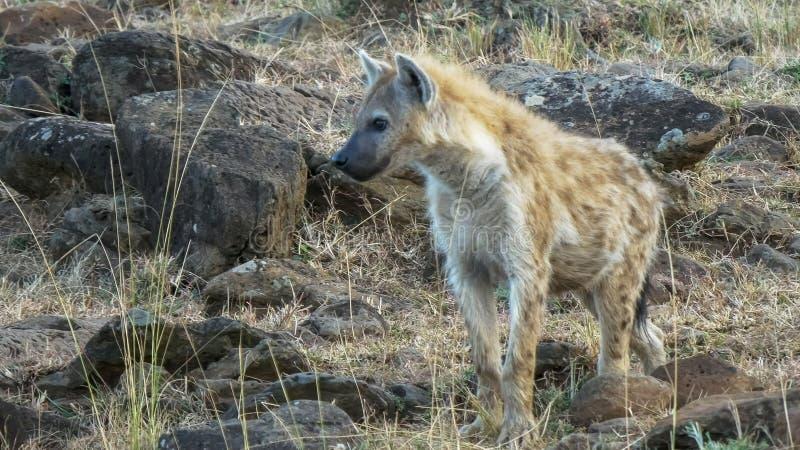 Chiuda su di un'iena che cammina al parco nazionale di Mara dei masai, Kenia fotografie stock libere da diritti