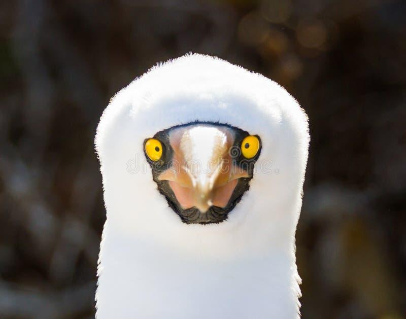 Chiuda su di un'isola di Genovesa di granti della sula della testa di legno di Nazca, le isole Galapagos, Ecuador immagine stock libera da diritti