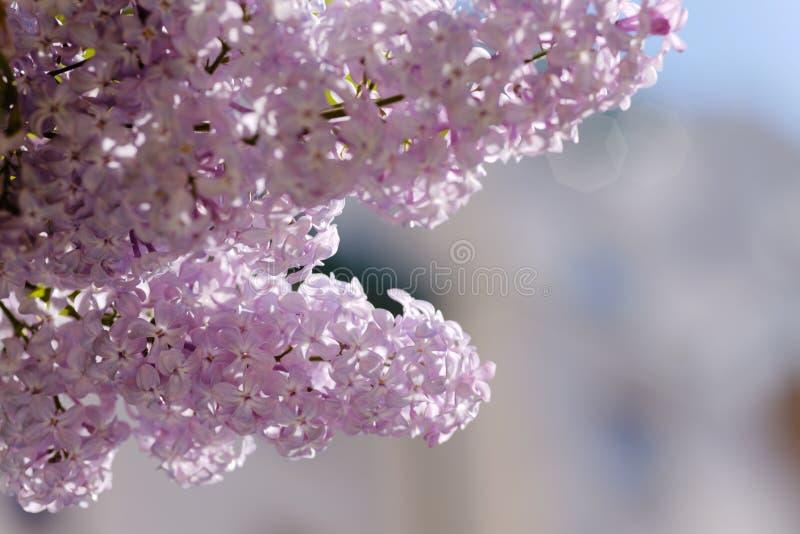 Chiuda su di un lillà di fioritura Macro colpo dei fiori rosso-chiaro di una molla Sally poco profondo di depth-of-field immagine stock libera da diritti