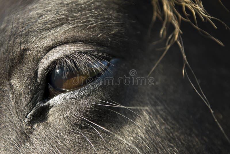 Chiuda in su di un occhio nero del `s del cavallo. fotografia stock