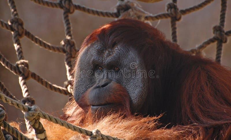Chiuda su di un orangutan maschio fotografia stock