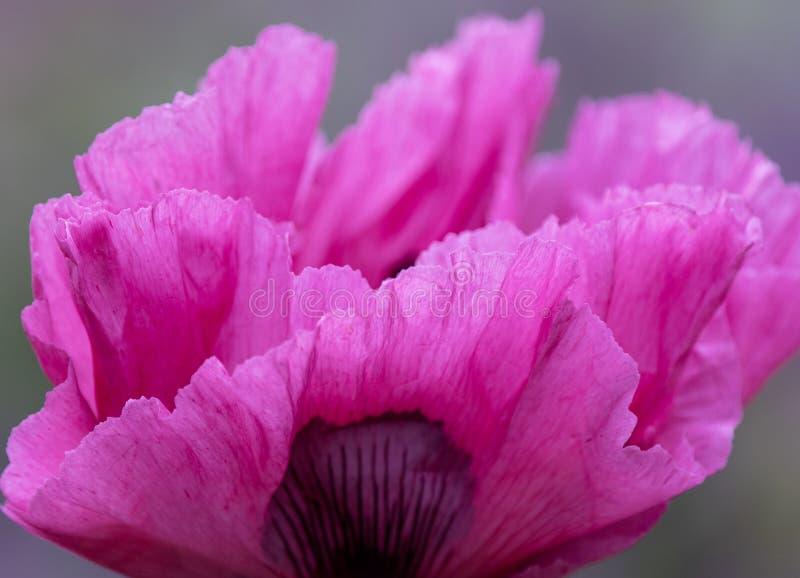 Chiuda su di un papavero rosa gigante fotografie stock