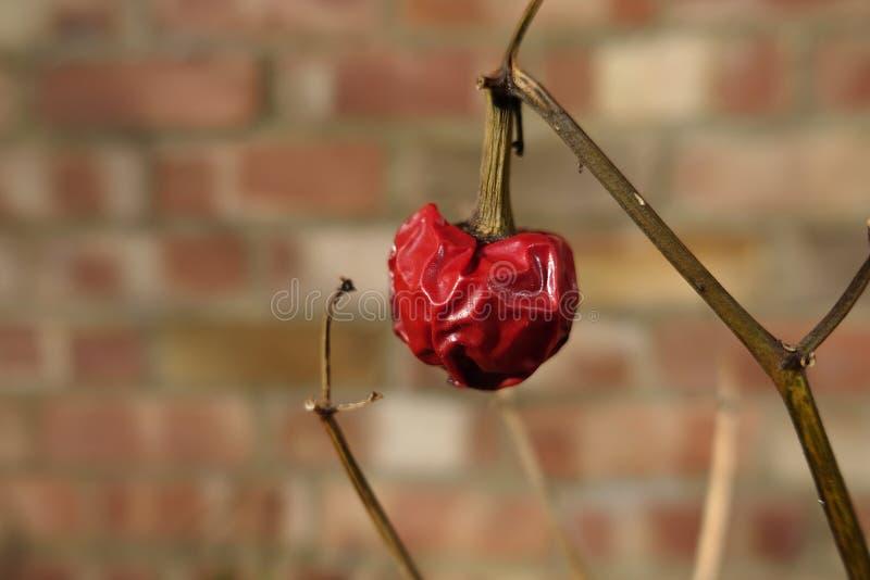Chiuda su di un peperoncino raggrinzito e che appassisce su una pianta, fotografia stock libera da diritti