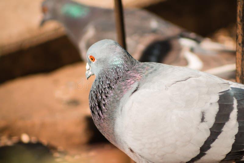 Chiuda su di un piccione che cerca l'alimento ad un alimentatore dell'uccello a Grand Rapids Michigan fotografia stock